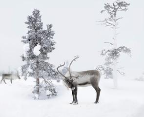 Finland, two reindeers in winter landscape