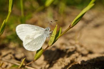 Schmetterlinge Deutschlands - Weißling