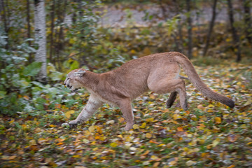 Wall Mural - Cougar (Puma concolor) Runs Left Autumn