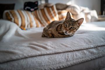 A cute Savannah cat on a couch