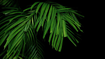 Wall Mural - Green jungle leaves palm frond tropical foliage plant on black background.