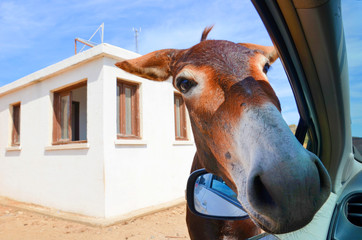 Wild brown donkey with his had in opened car window. White building in the background. Taken in Karpas Peninsula, Turkish Northern Cyprus. Wild donkeys are popular attraction of this Cypriot region.