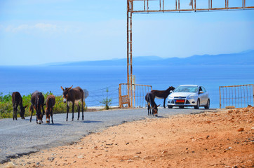 Wild donkeys on the road around the car that is passing by. One of the donkeys has his head in a car. Taken in Karpas Peninsula, Turkish Northern Cyprus. These cute animals are attraction of the area.
