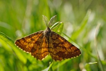 Schmetterlinge Deutschlands - Heidespanner