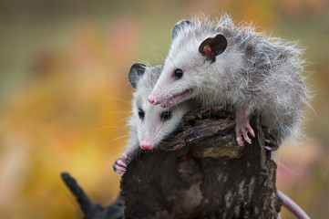 Wall Mural - Pair of Opossum Joeys (Didelphimorphia) Huddle on Log End Autumn