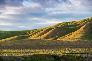 The setting sun illuminates a vineyard and green grassy hills in golden hues - spring in Paso Robles wine country
