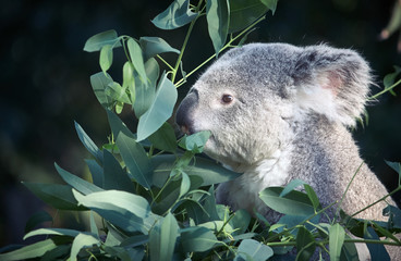 Photo sur Aluminium Koala Koala eating in a tree placidly