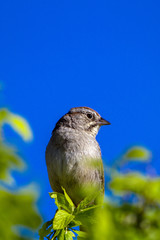 Male Chipping Sparrow in spring in Organ Mountains-Deserr Peaks National Monument in New Mexico