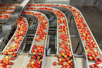 Clean and fresh gala apples on a conveyor belt in a fruit packaging warehouse