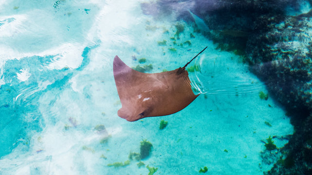 Cute and young sting ray swimming slowly in the warm water of the Bahamas.