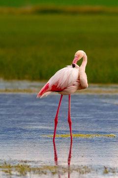 Nature and birds. Bird: Greater Flamingo. Phoenicopterus roseus. Green blue nature background.