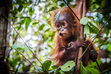 World's cutest baby orangutan hangs in a tree in the jungles of Borneo with a branch in it's mouth