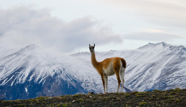 Guanaco stands on the crest of the mountain backdrop of snowy peaks. Torres del Paine. Chile. South America