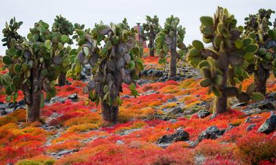 Prickly pear cactus on the island. The Galapagos Islands. Ecuador