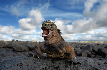 Marine iguana is sitting on the rocks. The Galapagos Islands. Pacific Ocean. Ecuador.  Wall mural
