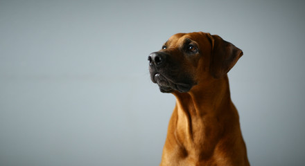 Studio shot of a Rhodesian Ridgeback Dog on gray Background in studio Wall mural