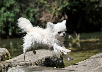chihuahua jumping in nature