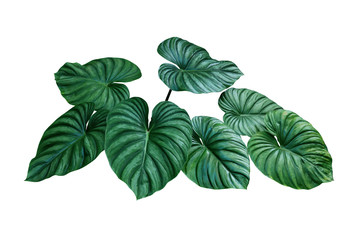 Obraz Heart shaped bicolors leaves of Philodendron plowmanii the rare exotic rainforest foliage plant isolated on white background, clipping path included. - fototapety do salonu
