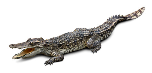 Photo sur Aluminium Crocodile Wildlife crocodile isolated on white background with clipping path