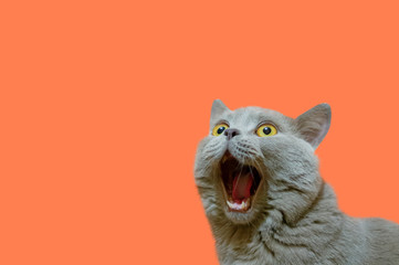 A lilac British cat looking up. The cat opened his mouth with a mad look. The concept of an animal that is surprised or amazed. The figure of a cat on an isolated background of coral color. 壁紙(ウォールミューラル)