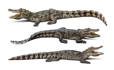 Fotorolgordijn Krokodil Group of wildlife crocodile isolated on white background with clipping path