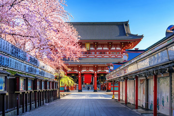 Wall Mural - Cherry blossoms and Temple in Asakusa Tokyo, Japan.