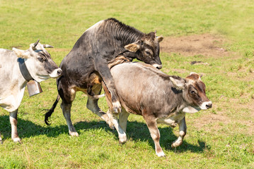 cow an bull  are playing sex games on pasture in Bavaria Germany
