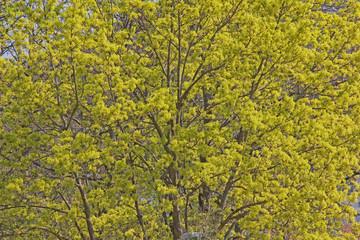 Photo sur Aluminium Bosquet de bouleaux Blüten des Spitzahorn