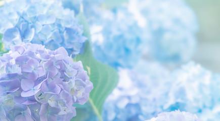 Zelfklevend Fotobehang Hydrangea hydrangea flowers close up