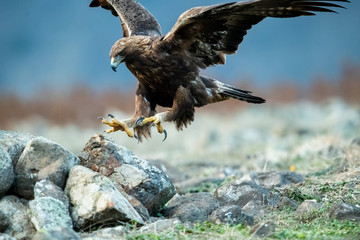 Hunting Goldean Eagle (Aquila chrysaetos) at mountain meadow in Eastern Rhodopes, Bulgaria Fotoväggar