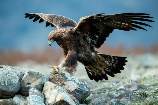 Hunting Goldean Eagle (Aquila chrysaetos) at mountain meadow in Eastern Rhodopes, Bulgaria