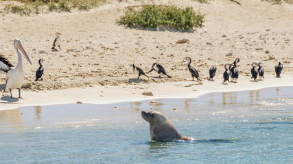Sea lion comes out of the water observed by pelicans and cormorants on the sandy beach of Penguin Island, Rockingham, Western Australia