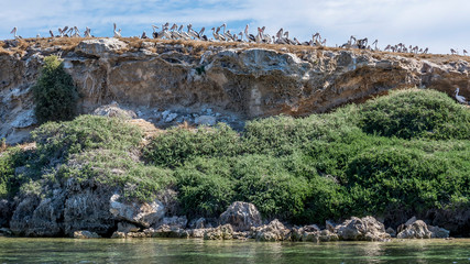 Great colony of pelicans on a cliff top on Penguin Island, Rockingham, Western Australia