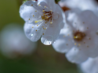Raindrops on flowers of plum and apricot with green leaves in spring. Young shoots, water hanging from branch, flowering trees in garden, blooming spring nature. Effect light. Shallow depth of field