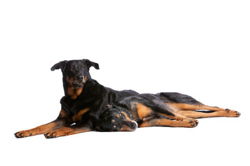 two Beauceron dogs