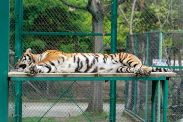 Tiger resting on a wooden platform