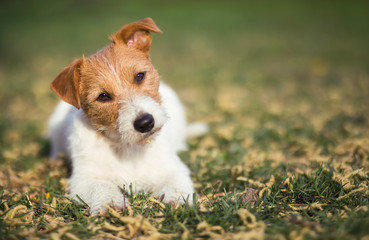 Healthy happy pet dog puppy listening in the grass with funny ears