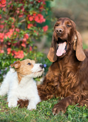 Happy dog friendship - cute jack russell puppy looking to his yawning friend