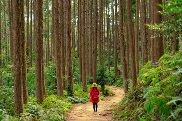 Trekking in tall cypress forest in Japan