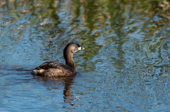 Pied-billed Grebe Swimming at Savannah National Wildlife Refuge