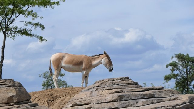 Onager on a hill with a blue sky background
