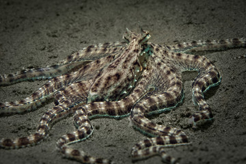 Mimic octopus (Thaumoctopus mimicus). Picture was teken in Ambon, Indonesia