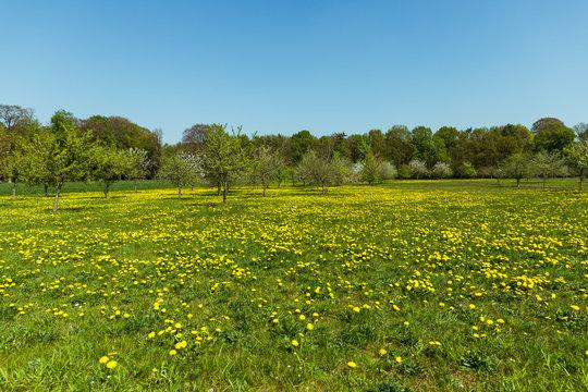 Blumenwiese im Frühjahr mit Obstbäumen am Niederrhein