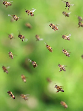 macro shot of bees flying in apiary, close up of honey bee on green background