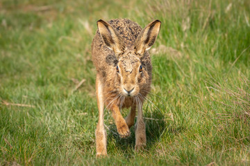 Fotoväggar - European Brown Hare Running