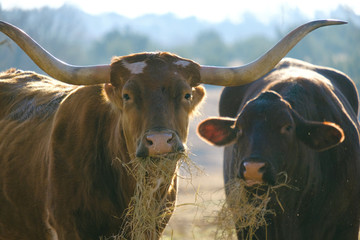 Wall Mural - Texas Longhorn cow and Santa Gertrudis heifer grazing on hay looking at camera close up.  Rural farm concept for cattle in agriculture.
