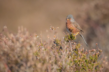 Fotoväggar - Dartford Warbler perched rare UK bird