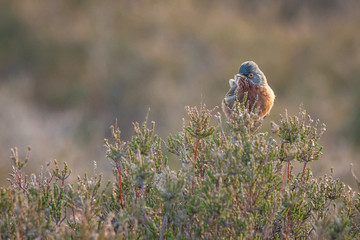 Fotoväggar - Dartford Warbler rare UK bird perched on heather