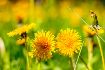 Yellow dandelions in bright sun light – Natural state of nature in summer – Beautiful flowers in grass – Floral background concept