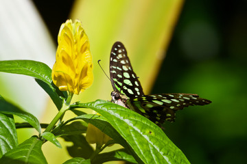 Tailed Jay Green butterfly near a Yellow Shrimp Flower